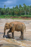 Elephant on submerged rock in river on edge of jungle Royalty Free Stock Images