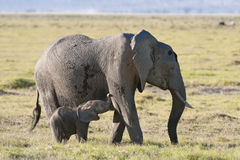 Elephant suckle her calf. African elephant feeding by grass  while suckle her baby, Amboseli  National Reserve, Kenya Stock Photo