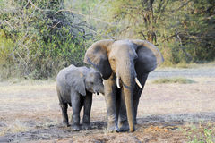 Elephant with suckling calf Royalty Free Stock Images