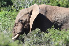 Elephant   in the sun Royalty Free Stock Photography