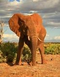 Elephant in sunlight, Kenya stock photos