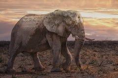 Elephant at sunrise. Elephant bull in the bush at sunrise, Etosha National Park, Namibia, Africa Stock Photo