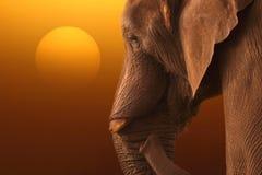 Elephant sunrise A Stock Image