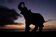 Elephant at Sunset Royalty Free Stock Image