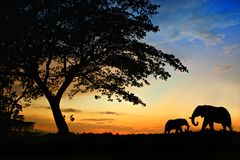 Elephant  in the sunset Stock Images