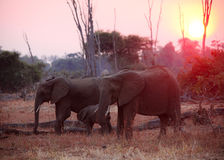 Elephant at sunset Royalty Free Stock Images