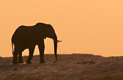 Elephant in sunset Stock Images