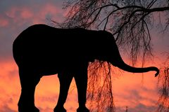 Elephant at sunset. An elephant silhouette against a red sky Royalty Free Stock Photography