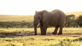 Elephant Sunset -African Bush Elephant. The African bush elephant is the larger of the two species of African elephant. Both it and the African forest elephant stock photography