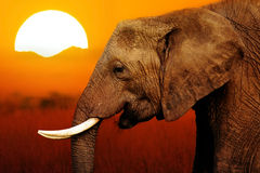 Elephant at  Sunset Background Royalty Free Stock Photography