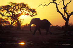 Elephant at sunset, Botswana. African elephant (Loxodonta africana) at Savuti, Chobe National Park, Botswana. The pool is one of the very few left in the area royalty free stock photo