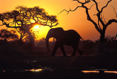 Elephant at sunset, Botswana. African elephant (Loxodonta africana) at Savuti, Chobe National Park, Botswana. The pool is one of the very few left in the area stock image