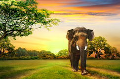 Elephant on sunset Stock Photography