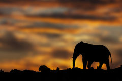 Elephant silhouetted at sunset Royalty Free Stock Images