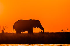 Elephant at Sunset Stock Photos