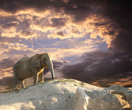 Elephant at sunset Stock Images