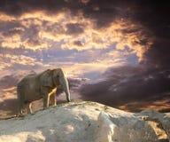 Elephant at sunset Stock Images