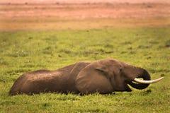 Elephant in swamp Stock Photo