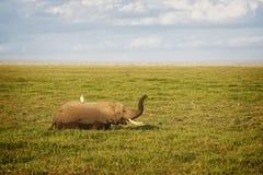 Elephant in swamp. African elephant, female, enjoying succulent feed  in swamp area Amboseli National park, Kenya Royalty Free Stock Images