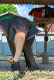 Elephant swaying. Tourist attraction in Koh Chang. Thailand Royalty Free Stock Images