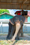 Elephant swaying. Tourist attraction in Koh Chang. Thailand Stock Photography