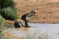 Elephant Swimming Stock Photography