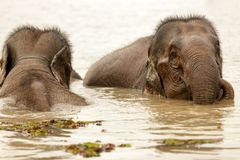 Elephant swimming Royalty Free Stock Photography