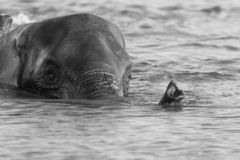 Elephant swimming in deep water. Elephant with trunk above water in black and white swimming across the river Chobe in Botswana stock photography