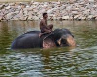 Elephant swimming Royalty Free Stock Photography
