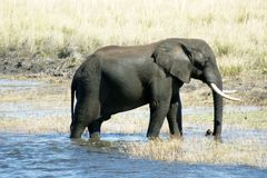 Elephant after swimming. Male elephant comming out of water in Chobe National Park Botswana, magnificant animal Royalty Free Stock Photo
