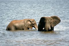 Elephant after swimming. Male elephant comming out of water in Chobe National Park Botswana, magnificant animal Stock Photo