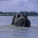 Elephant swimming Royalty Free Stock Image