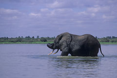 Elephant swimming Stock Photo