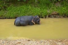 Elephant swimming in Thailand Stock Photo