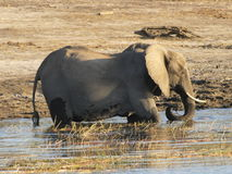 Elephant in water. Elephant swimming in water on hot day in Chobe Stock Image