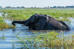 Elephant swims using trunk to reach grass Stock Image