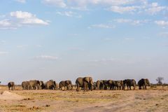 Elephant symmetry. Large group of male Elephants (Loxodonta africana) standing at waterhole at Chobe National Park, Botswana, November stock photos