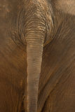Elephant tail Stock Images