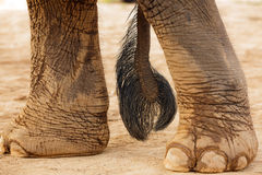 Elephant tail and foot. Asian elephant tail and foot on muddy soil Stock Images