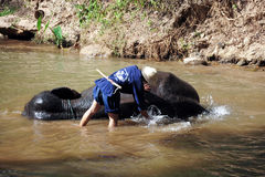 Elephant take a bath at Maesa elephant camp Royalty Free Stock Photo