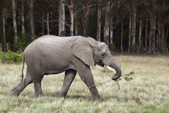 Elephant Takeaway Royalty Free Stock Images