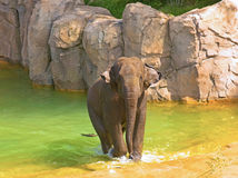Elephant taking bath. Asian elephant after taking a refreshing bath in National Zoo, Washington DC Stock Photo