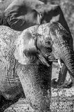 Elephant taking a bath in black and white. Elephant taking a bath in black and white in the Kruger National Park, South Africa royalty free stock image