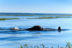 Elephant taking dive Chobe river Botswana Africa Royalty Free Stock Photography