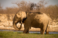 Elephant taking mud bath Stock Photo