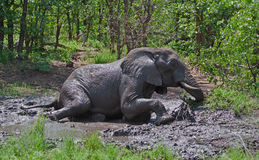 Elephant taking mud-bath in the African bush. A large African Elephant bull enjoys a wallow in the mud in the Greater Kruger Transfrontier Park, South Africa stock photography
