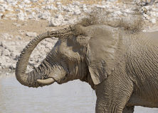 Elephant taking a mud bath at  a waterhole. Royalty Free Stock Photography