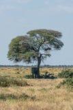 Elephant taking shelter from sun under acacia Royalty Free Stock Photography