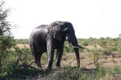 elephant taking a shower royalty free stock images