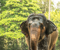 Elephant taking shower(Elephas maximus). Elephant taking shower  in  the woods black and white view Stock Images